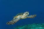 Hawksbill turtle (Eretmochelys imbricata) swimming through a reef.