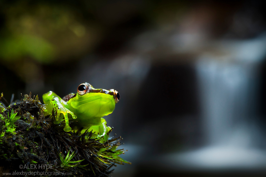 Madagascar Reed Frog {Heterixalus madagascariensis} in front of waterfall, montane rain forest. Andasibe-Mantadia NP, Eastern Madagascar.