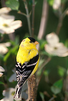 American goldfinch in profile perched in blooming dogwood tree (Conus florida)