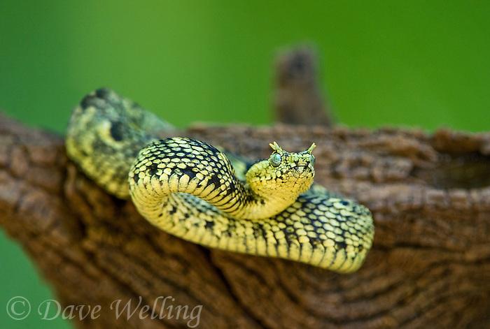 Horned Bush Viper | www.imgkid.com - The Image Kid Has It!