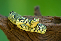 489550006 a captive usambara mountains eyelash bush viper atheris ceratophora sits coiled on a tree stump species is newly recorded and native to the usambara mountains of tanzania