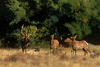 628850068 wild female or cow and male or bull with full antler rack tule elk cervus nannodes forage in a field surrounded by a flight of red-winged blackbirds agelaius phoenicius in inyo county california