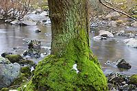 Oak (Quercus robur) River Elan, The Elan Valley, Rhayader, Mid-Wales, UK          RIO ELAN, VALLE DE ELAN, RHAYADER, GALES MEDIO, REINO UNIDO