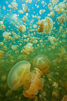 RH1197-D. Golden Jellyfish (Mastigias papua), perhaps Mastigias papua etpisoni, in world famous Jellyfish Lake, Palau. Millions of these jellies live in an isolated marine lake in the Rock Islands. Over time and in the absence of abundant predators, their stinging cells have lost most of their potency, and as a result, are generally harmless to people. Some scientists believe this may be a subspecies of the tropically widespread Spotted Jellyfish, others feel it may be a distinct species.<br /> Photo Copyright &copy; Brandon Cole. All rights reserved worldwide.  www.brandoncole.com