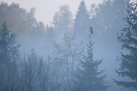 Great grey owl (Strix nebulosa) perched in dawn mist, Bergslagen, Sweden.