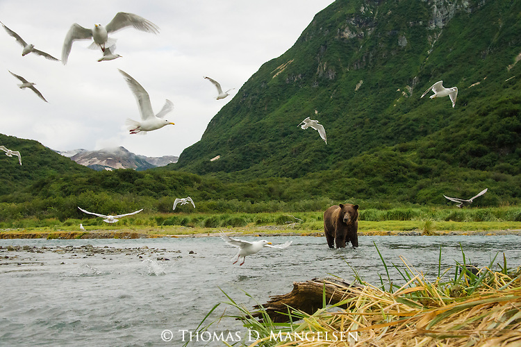 A coastal brown bear looks for salmon as gulls take flight in Katmai National Park, Alaska.