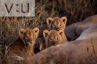 A trio of six week old Lion cubs. ,Panthera leo, Masai Mara Game Reserve, Kenya
