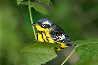 592010020 a wild male magnolia warbler setophaga magnolia - was dendroica magnolia - in breeding plumage perches in a small bush on south padre island cameron county texas united states