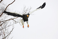 Steller's sea eagle in flight, Hokkaido, Japan