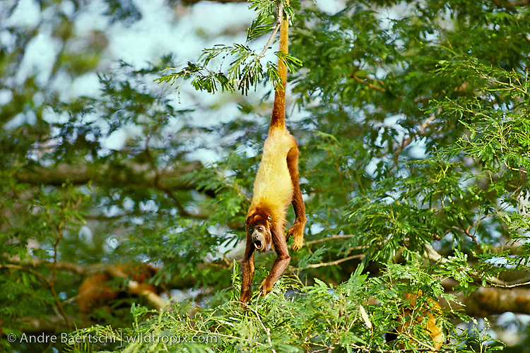 Red howler monkey (Alouatta seniculus) on a tree in lowland tropical rainforest along the Rio Tuichi, Madidi National Park, La Paz, Bolivia.