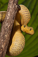 Bush Viper (Atheris squamigera) captive