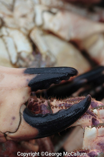 Crab close up showing  large  pincer or claw