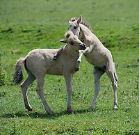 Konik horse, young foals playing. Oostvaardersplassen, Netherlands. Mission: Oostervaardersplassen, Netherland, June 2009.