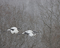 Pair endangered red-crowned cranes (Grus japonensis) flying in snow, Hokkaido Island, Japan.
