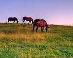 Horses graze contentedly in the pasture adjacent to the parking lot at Barrel Oak Winery.  (Sunset HDR image)