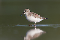 Semipalmated Sandpiper (Calidris pusilla), East Pond, Jamaica Bay Wildlife Refuge