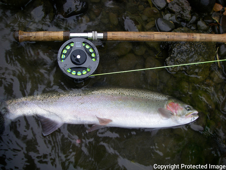 Steelhead trout and fly rod on British Columbia's Bulkley river.