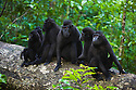 Crested black macaque mothers with babies, (Macaca nigra), Indonesia, Sulawesi, endangered species, threatened through loss of habitat and bush meat trade, species only occurs on Sulawesi.