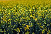 Canola Fields in southern Idaho. Idaho.
