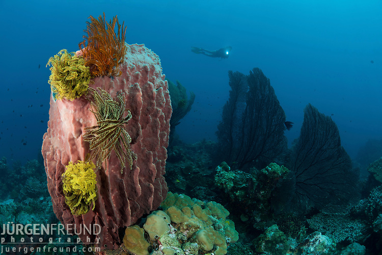 Giant barrel sponge (Xestospongia testudinaria) studded with crinoids or featherstars with gorgonian fan and diver in the background
