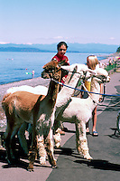 "Alpacas (Vicugna pacos) going for a Walk at Qualicum Beach, in the ""Oceanside Region"" of Vancouver Island, British Columbia, Canada"