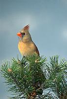 Northern Cardinal, Cardinalis cardinalis, female, perched on Pine.