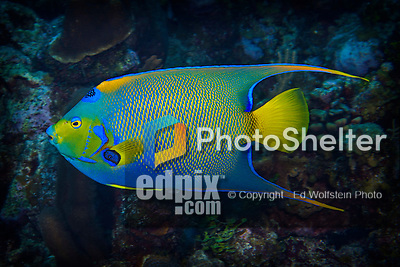 10 June 2015: A Queen Angelfish (Holacanthus ciliaris) swims along the outcroppings at Lemon Reef, on the North Shore of Grand Cayman Island. Located in the British West Indies in the Caribbean, the Cayman Islands are renowned for excellent scuba diving, snorkeling, beaches and banking.  Mandatory Credit: Ed Wolfstein Photo *** RAW (NEF) Image File Available ***