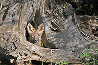 Red Fox pup looking out from a den - CA
