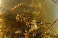 European Toads and eggs (Bufo bufo)