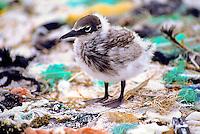 Brown noddy (noio) chick amidst marine debris; Kure Atoll, Northwestern Hawaiian Islands, 1988