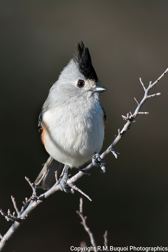 Tufted Titmouse, Black-Crested