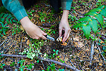 MUSHROOMS: Collecting Wild Mushrooms In Oregon.  Mushroom Forager Debby Accuardi collecting Oregon White Chanterelle Mushrooms in an undisclosed location in the Cascade Range. Debby cutting and cleaning a white chanterelle mushroom.