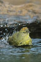 592218024 Orange-crowned Warbler Vermivora celata WILD.Bathing in small pond showing orange feathers on head.Rio Grande Valley, Texas