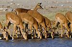 Black-faced impala, Etosha National Park, Namibia