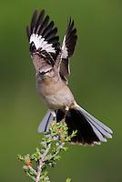 Northern Mockingbird (Mimus polyglottos), adult landing on Christmas Cholla (Opuntia leptocaulis),  Laredo, Webb County, South Texas, USA