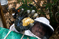 Honeycomb from Africanized Honeybees (Apis mellifera) in the glove of a beekeeper during the live removal of a bee colony near a house for relocation to a safer area (Arizona)