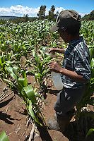 26 January 2011, Berea District. The farm of Thabang Mokone who has been practising conservation Agriculture since 2004.Thabang and his wife, Machomanyane farms at Ha Mamathe. Using conventional farming methods, his maize yield was 60-80kg for the 2.6 acres he cultivated each year. Despite varying weather conditions, Thabang manged to increase his yield to 800kg in 2009/2010. Thabang applies pesticides.