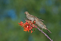 528800256 two wild female house finches podocarpus mexicanus perch on a flowering ocotillo foqueria splendens plant in southern arizona