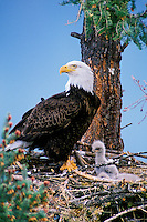 Bald eagle at nest with young eaglet