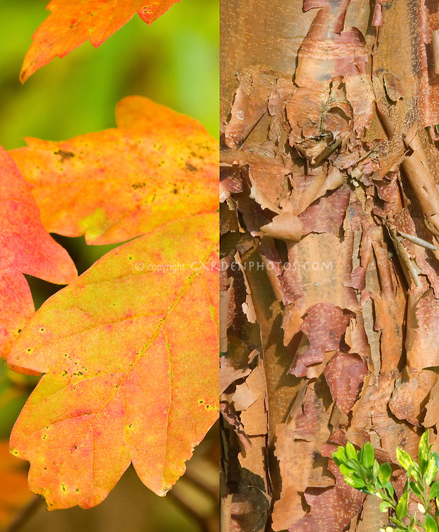 Acer griseum in two stages, fall autumn foliage leaves and attractive winter tree trunk bark