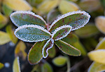 Frost covered St. John's Wart.  ©2013. Jim Bryant Photo. All Rights Reserved.