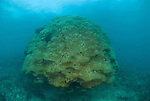 Huge 5 meter porites coral head