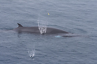Surfacing Minke whale Balaenoptera acutorostrata DNA Sample dart striking body causing spash Norwegian sea North Atlantic