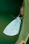 Holly Blue Butterfly, Celastrina Agriolus, adult showing underside of wings, resting on leaf, just hatched from pupae or chrysalis.United Kingdom....
