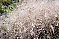 Panicum virgatum 'Heavy Metal' ornamental grass in autumn fall