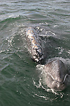gray whale cow and calf