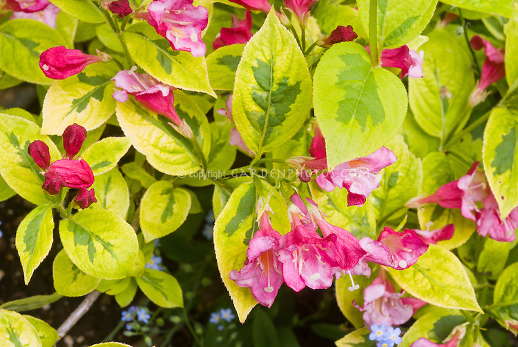 Spring Flowering Variegated Shrub Weigela French Lace With