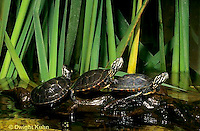 1R13-091z  Painted Turtle - young in pond sunning themselves  - Chrysemys picta