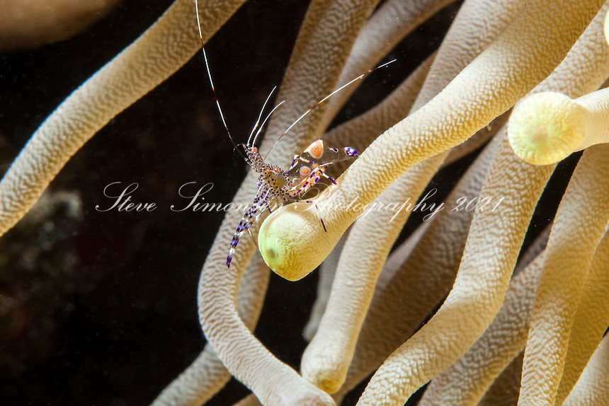 Spotted Cleaner Shrimp on an anemone<br /> Periclimenes yucatanicus<br /> Virgin Islands