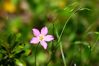 This large-flowered sabatia is a real beauty and can be found anywhere where there are open, wet prairies in much of Southern Florida. This one was found on the edge of the Corkscrew Swamp.